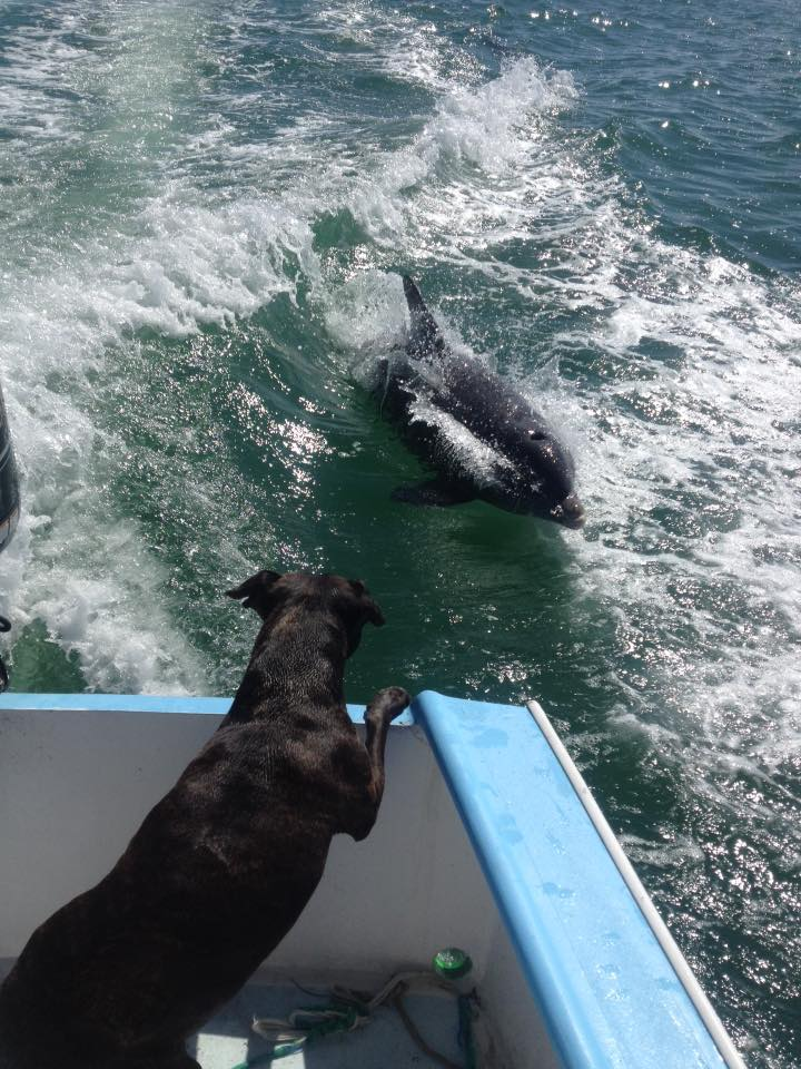 Dolphin jumping behind boat